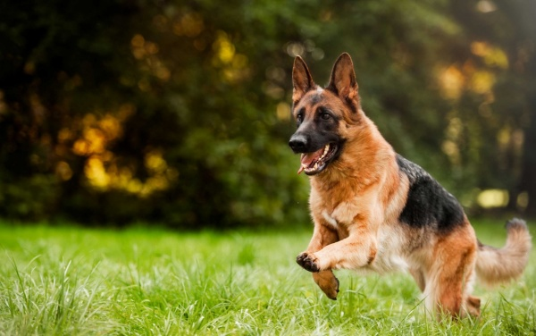 German shepherd running - image about supplements and petfood representing dog health